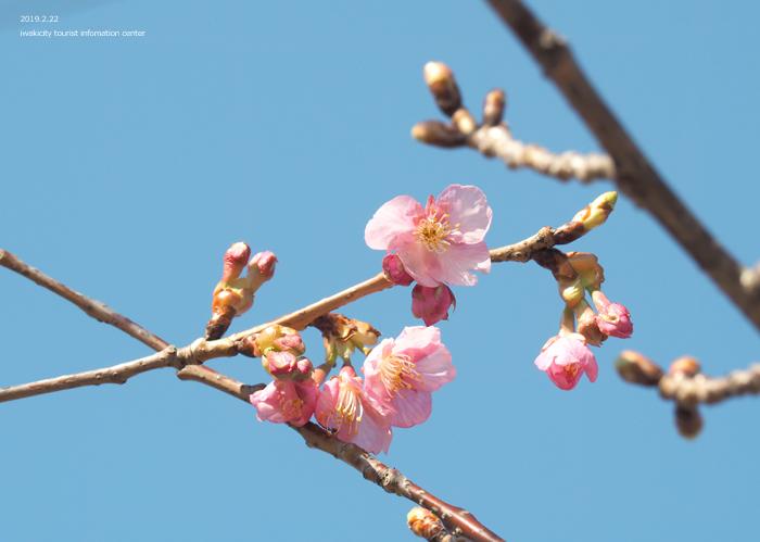 《いわき市桜情報2019》常磐共同火力(株)勿来発電所の河津桜が咲き始めました! [平成31年2月22日(金)更新]9