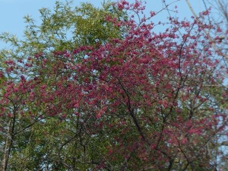 寒緋桜 4