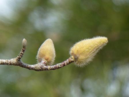森の交流センター ハクモクレンの花芽 2