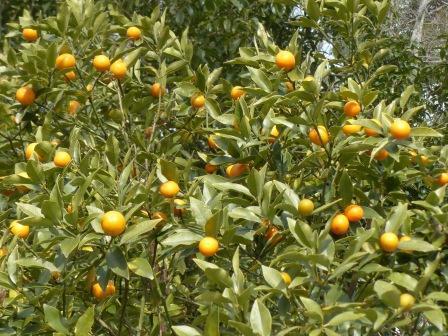 森の交流センター 柑橘の実 2