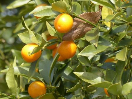 森の交流センター 柑橘の実 1