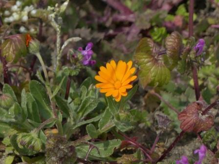 キク科の花 1