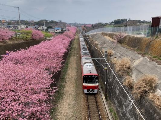 河津桜16