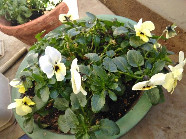 花復活水遣り (1)