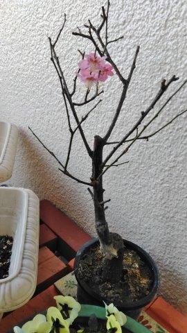 梅の寿命 (1)