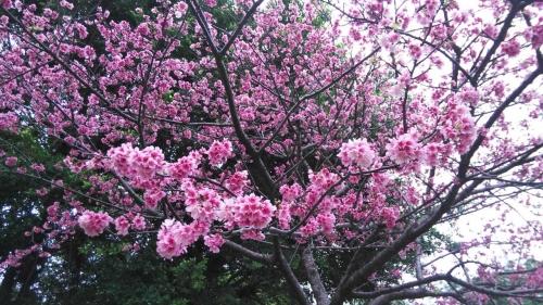 H31.2.23桜④