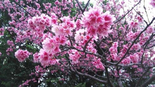 H31.2.23桜⑤