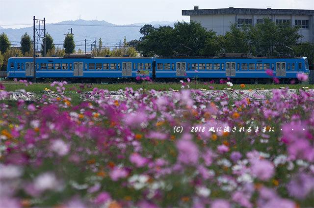 滋賀・野田町コスモス畑 コスモスと電車1