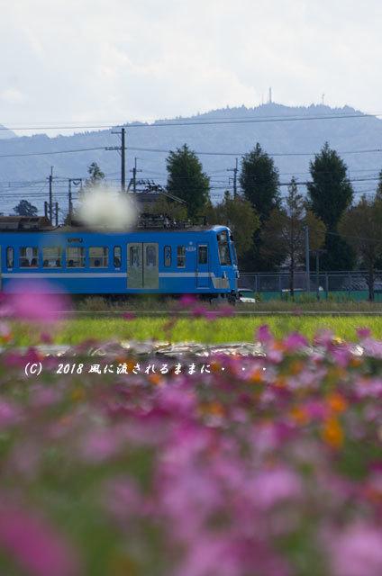 滋賀・野田町コスモス畑 コスモスと電車2