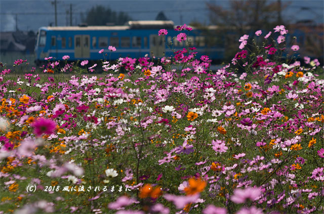 滋賀・野田町コスモス畑 コスモスと電車3