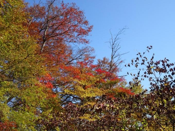 見上げる紅葉