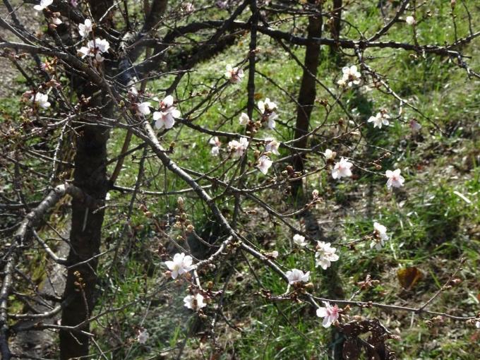 冬桜も咲いてる