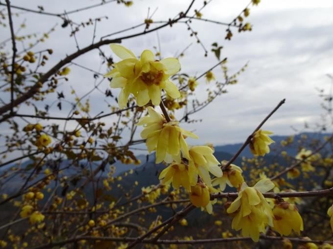 ロウバイの花3