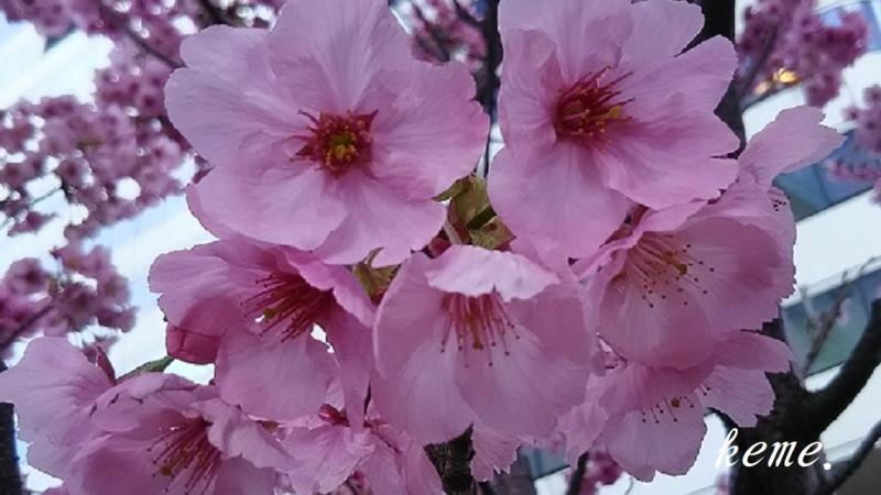 有楽町の桜b (2)