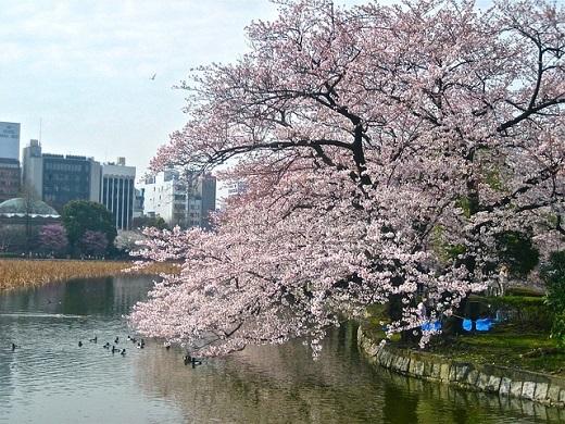 cherry-blossom-238435_640.jpg