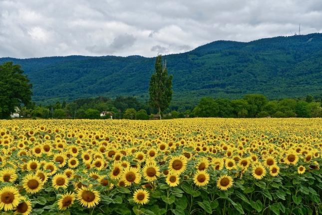 sunflowers-3250317_1280.jpg