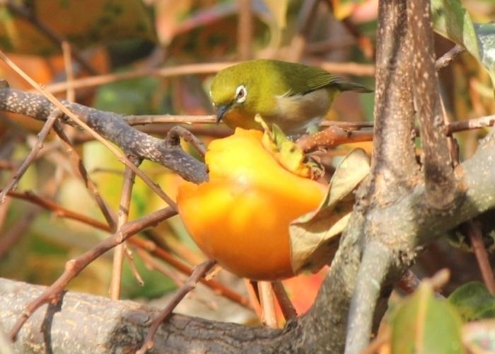 メジロ柿1