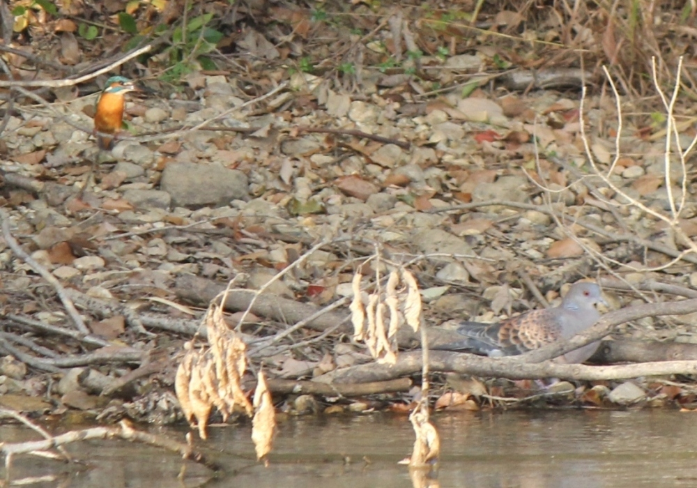 竜巻池のカワセミとハト2