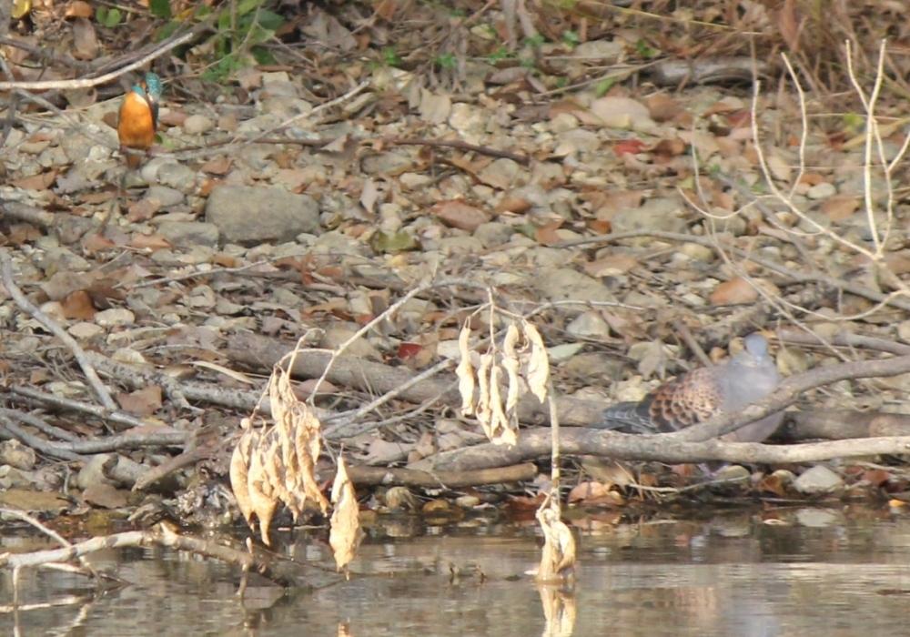 竜巻池のカワセミとハト3
