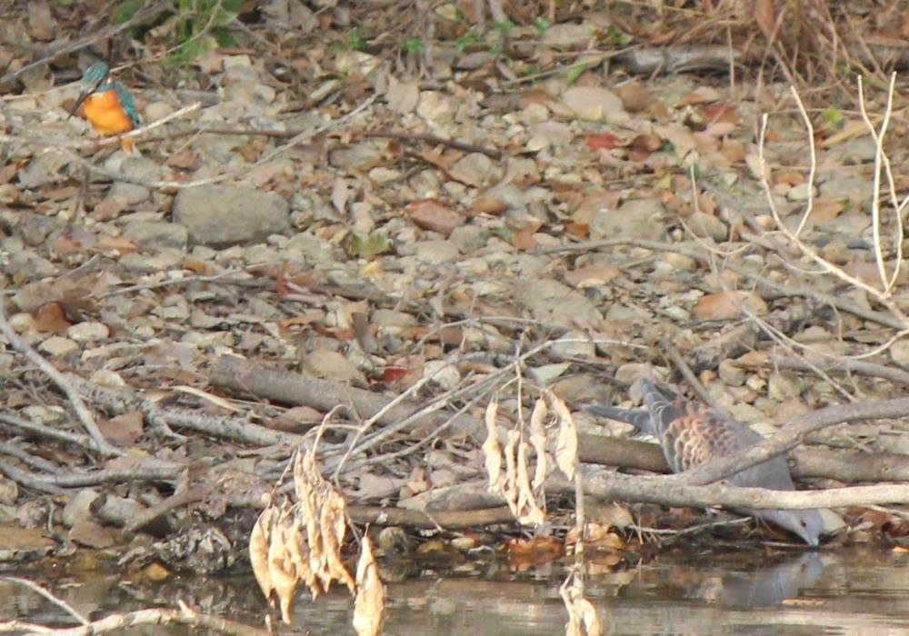 竜巻池のカワセミとハト1