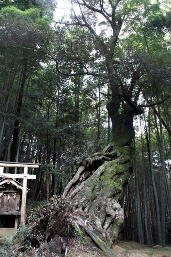 水神社の御神木