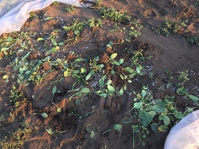 下ごしらえした後のホウレンソウ畑には枯れ、傷んだ葉が沢山