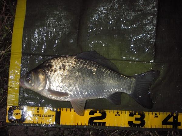 中川 フナ 34cm