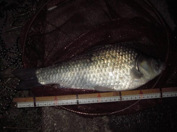 中川 鯉ベラ 37cmダンゴ