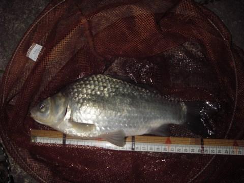 中川 フナ 26cmダンゴ