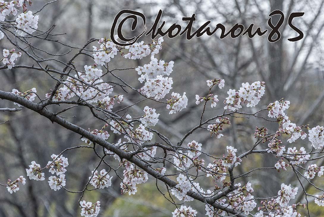 月曜日の桜前線2 20190326