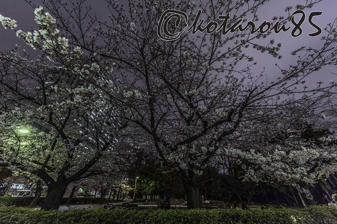 日比谷公園の桜 20190330