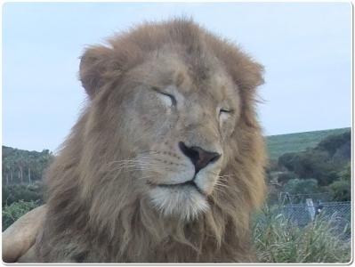 mini_5551_lion_DSCF4040.jpg