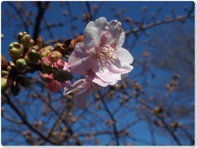 mini_8812_sakura_P2182094.jpg