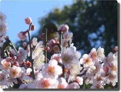 mini_9916_20150310_mejiro_DSCF5538.jpg