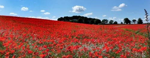 poppy_fields_1170x461.jpg