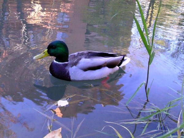 鴨々川の、鴨。
