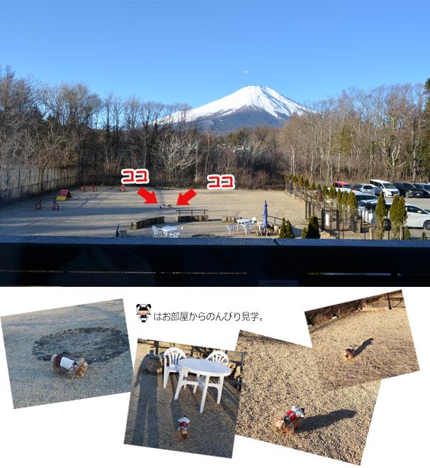 20190104富士山の見えるドッグランで朝んぽを楽しむリーパコ