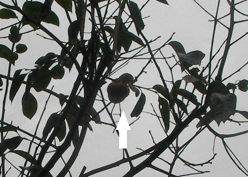 201810231312最後の庭柿①-2
