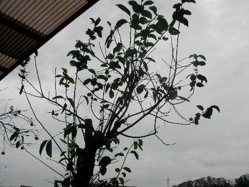201810231312最後の庭柿①-1