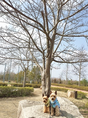 IMG_8102 桜の木とノアレンと