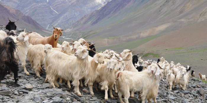 cashmere-goat.jpg