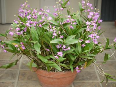 Dendrobiumkingianum