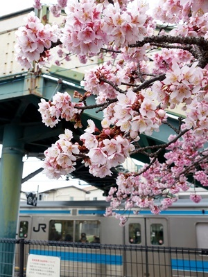 JR桃山駅前の桜1902