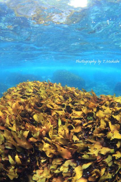 07★伊豆海洋公園の超浅場の海藻