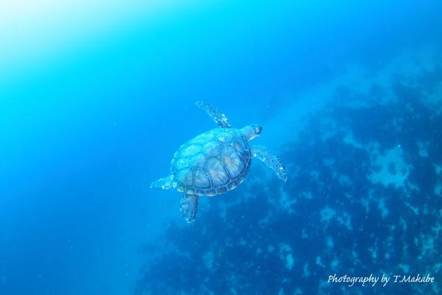 01-2★伊豆海洋公園のアオウミガメ