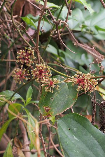アラガタオオサンキライ20190207-1