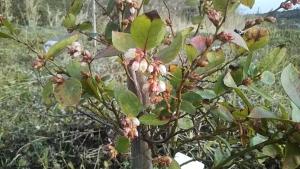 190124ブルーベリーに花2