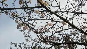 190328桜