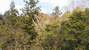 190331山桜満開