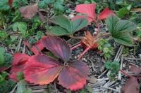BL190122イチゴ紅葉1IMG_0239